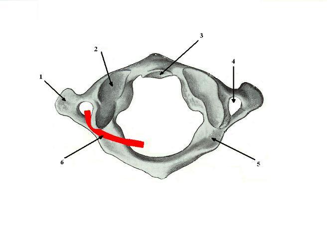 Fig. 3. First cervical vertebra (atlas). Superior view