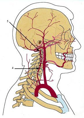 Fig. 2. Anatomy of vertebral arteries