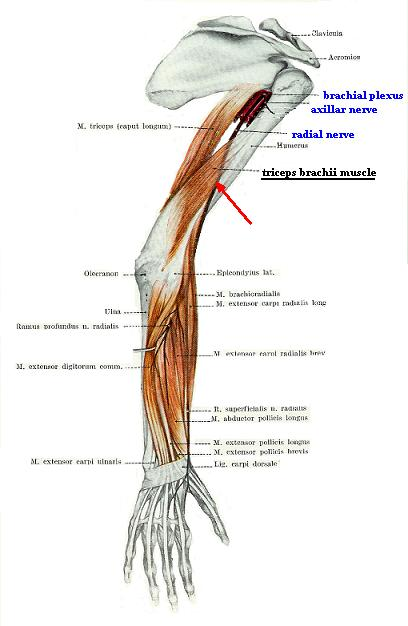Fig. 1. Pathway of the radial nerve on the upper extremity