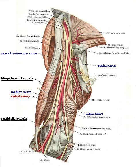 Fig. 2a. Medial surface of the arm (biceps brachii muscle is pulled laterally)
