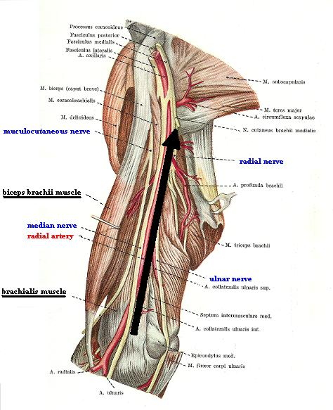 Fig. 2b. Medial surface of the arm (biceps brachii muscle is pulled laterally)