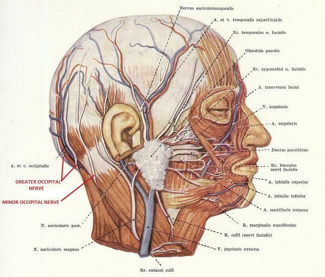 Fig. 3. Anatomical pathway of the occipital nerve