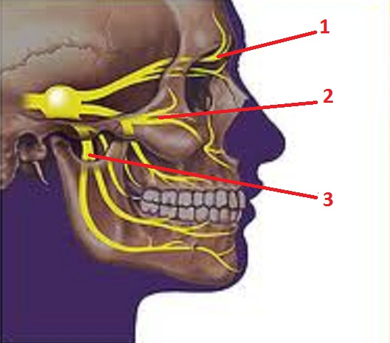 Fig. 4. Trigeminal nerve and pattern of its innervation