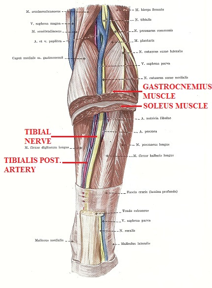 Fig. 1. Anatomy of the posterior leg and soleus canal