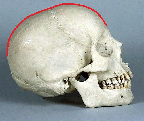 Fig. 3. Lateral view of the skull