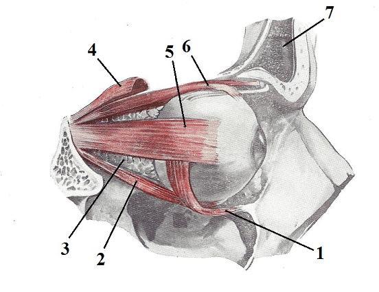 Fig. 6. Extarocular muscles (Kiss, Szentogothai, 1960)