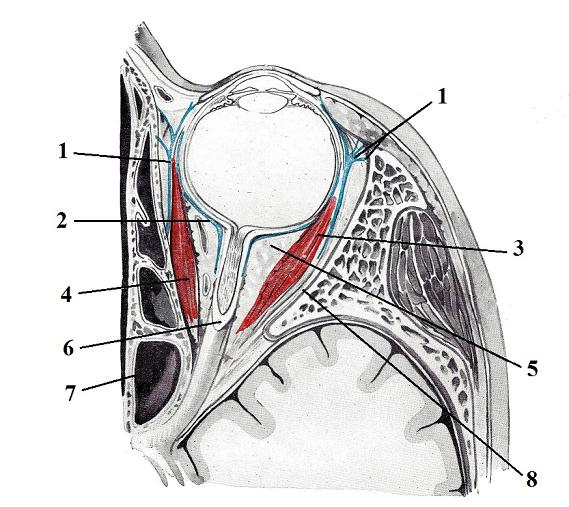Fig. 7. Cross section of the orbit and eye (inferior view) (Kiss, Szentogothai, 1960)