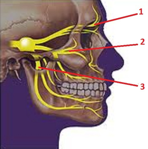 Fig. 5. Anatomy of trigeminal nerve