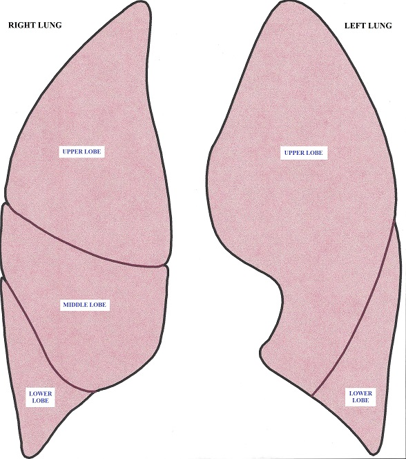 Fig. 2. Anatomy of the lungs