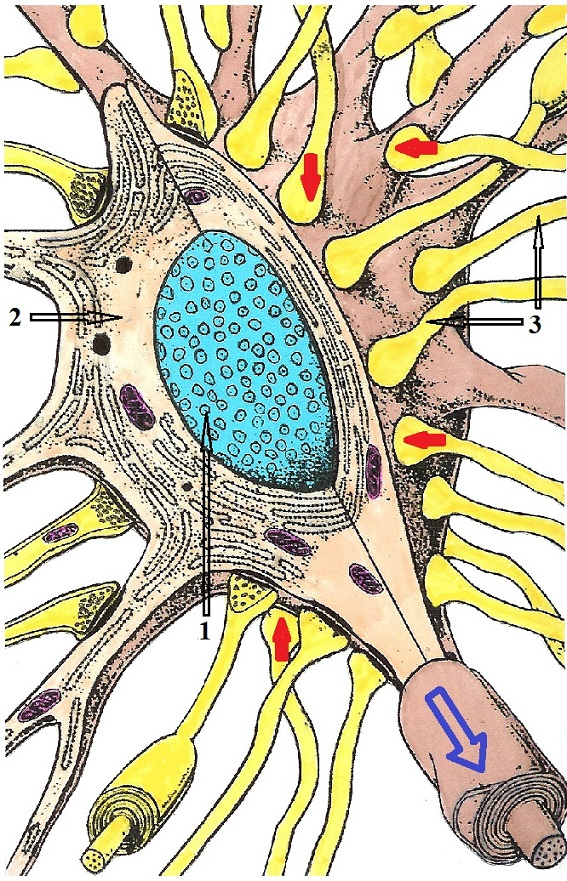 Fig. 7. Body of the spinal neuron in the posterior horns of the spinal cord (cut)