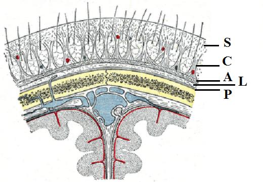 Fig. 1. Cross-sectional anatomy of the skull (Gray's Anatomy)