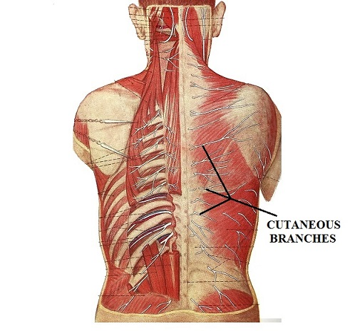 Fig. 3. Cutaneous branches of spinal nerves