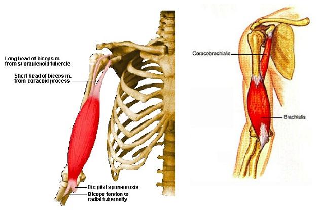 Fig. 1. Anatomy of the biceps brachii and brachialis muscles