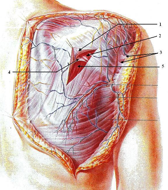 Fig. 2. Soft tissue arrangement in the posterior shoulder