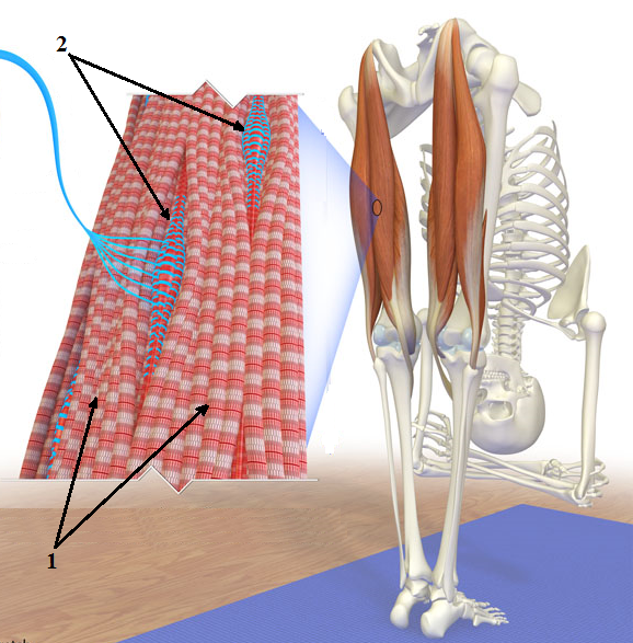 Fig. 1. Muscle spindle receptors between myofibrils in the left semitendinous muscle