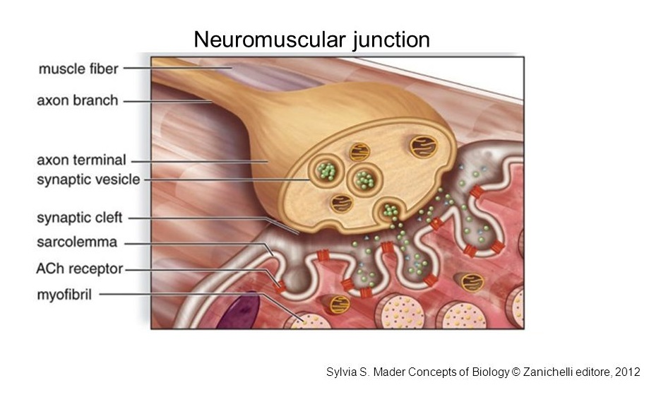 Science Of Massage Institute Lets Talk About Neuromuscular